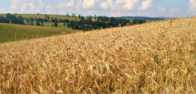 O mare parte din grâul european va ajunge să fie folosit anul acesta ca nutreţ