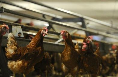 Crescătorii de păsări din România solicită eliminarea taxelor de raft pentru producători în perioadele de criză