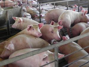 Milioane de animale vor fi eutanasiate în SUA din cauza pandemiei care a perturbat sectorul cărnii