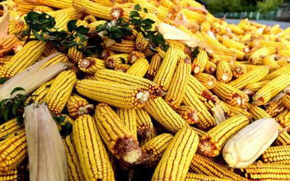 Porumbul și țigările generează o treime din încasările din exporturile de produse agroalimentare ale României