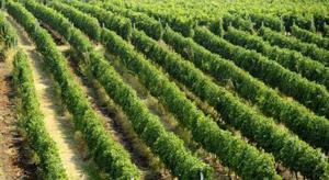 Producţia de vin a României a scăzut în acest an cu 7% comparativ cu 2019